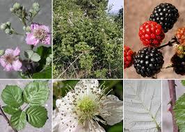 Rubus ulmifolius Schott - Sistema informativo sulla flora vascolare ...