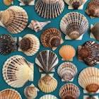bay scallops   shells