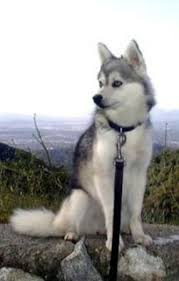 alaskan klee kai size alaskan klee kai breed information history health pictures and more