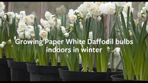 White Paper Flower Bulbs How To Plant Paper White Daffodil Bulbs Indoors In Winter