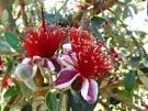 feijoa bush