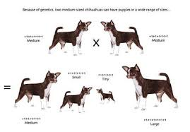 Teacup Chihuahua Size Chart The Pros Cons Of Teacup Chihuahuas Dog Breeds Chart