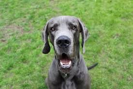 how to get rid of great dane acne