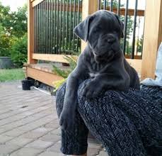 cane corso puppy for in vancouver wa