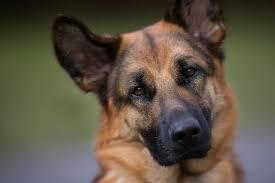 Картинки по запросу морда собаки