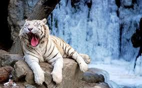 white tiger wallpaper desktop.  Wallpaper White Tiger Desktop Backgrounds Photos 1600x1000 With Wallpaper