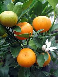 How To Plant Citrus Trees  Lemon U0026 Orange Tree Growing Guide Small Orange Fruit On Tree