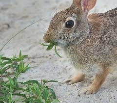 rabbit resistant perennials shrubs