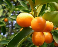Citrus Treesmeyer Lemon Tree Kaffir Lime Tree Blood Orange Kumquat Tree Not Bearing Fruit
