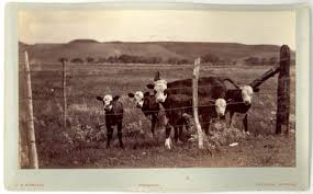barbed wire fence cattle. The Construction Of Fences Eventually Contributed To End Large Scale Open Range Cattle Barbed Wire Fence