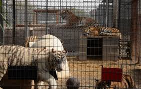 USDA suspends license of roadside zoo where Joe Exotic abused tigers · A  Humane World