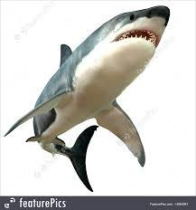 great white shark illustration. Unique White Great White Shark Body RoyaltyFree Stock Illustration And A