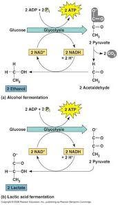 Cellular Respiration Glycolysis Krebs Cycle Electron