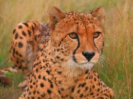 pepo the cheetah wallpaper cheetahs s wallpapers