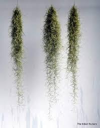 decorative plants for office. Tillandsia / Aerophytes Air Plants ( Bromeliaceae ) Decorative For Office H