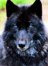 baby black wolf with blue eyes. For Baby Black Wolf With Blue Eyes