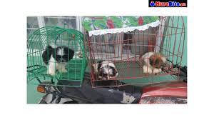 shih tzu puppies quezon city