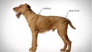 dog breed size chart euro dog designs size charts