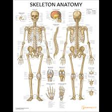 Laminated Anatomy Charts Skeleton Anatomy Chart Poster Laminated