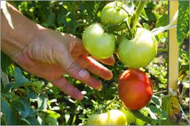 epsom salt for gardening. Epsom Salt For Tomatoes Gardening