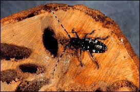Dnr Asian Longhorned Beetle