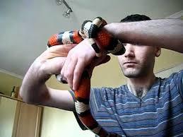milk snake size pueblan milksnake handling youtube