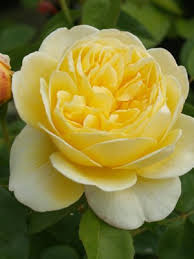 Charlotte Rose Bare Root | David Austin Roses | Menagerie Farm ...