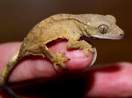 Why Is My Crested Gecko So Small And Wont Grow Care
