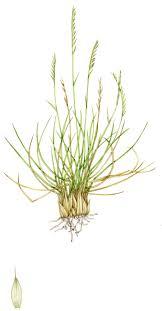 Grass Identification Chart Uk Mat Grass Nardus Stricta Copyright Www Lizzieharper Co Uk