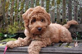 Labradoodle Designer Dogs The Miniature Labradoodle Is A Designer Dog With Lots Of