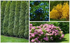 15 fast growing privacy shrubs bushes