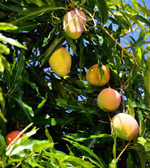 The Sam Houston Peach Was Fittingly Developed In The U201cLone Star Fruit Tree Sale Houston