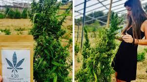Risultati immagini per cannabis light