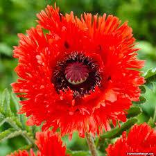 average american flower size turkenlouis oriental poppy papaver orientale american meadows