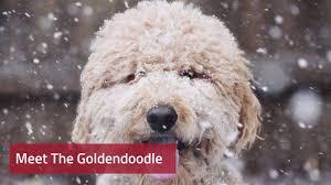 Goldendoodle Size Chart Goldendoodle Dog Breed Information Pictures