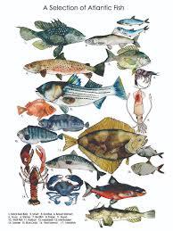 Atlantic Fish Chart Brienne Cosman