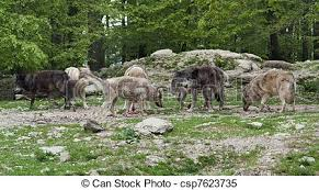 gray wolf pack in forest. Perfect Forest Pack Of Gray Wolves Near Forest Edge  Csp7623735 And Wolf Pack In Forest Y