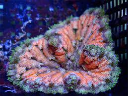 carpet anemone. neon orange maxi mini carpet anemone 2\