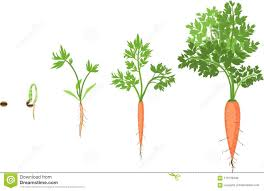 carrot plant stages. Interesting Stages Stages Of Growth Carrots For Carrot Plant S