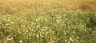 field of tall grass and daisies ground textures VIShopper
