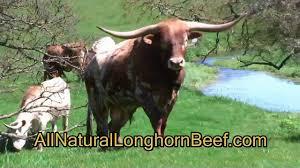 Longhorn Horn Growth Chart Characteristics Longhorns
