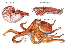 Головоногие моллюски характеристика Зоология Реферат доклад  Рис 63 Головоногие моллюски наутилус каракатица осьминог