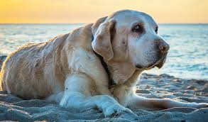 Common Cancers In Dogs Signs Symptoms Treatment The Labrador Site