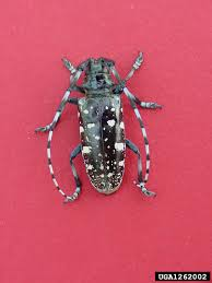 Asian Longhorned Beetle Emerging Threats Forest Health Kansas