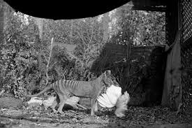 a black and white photo of a thylacine holding a bird in its mouth