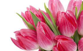 beautiful pink tulips tulip flower wallpapers this wallpaper