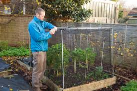 caption brassicas benefit from being protected by netting to keep off pigeons in winter