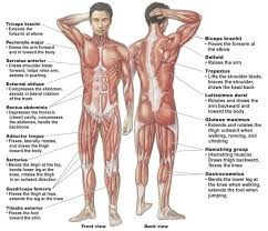 Muscle Chart Male Muscle Chart Male Ask The Trainer Muscle
