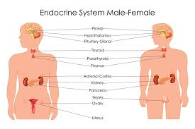 Comparative Functions Of Nervous And Endocrine Systems Chart Endocrine Glands Definition Examples Function Biology