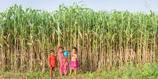 robin wyatt vision polio pci uttar pradesh sugar cane children panorama photo essay 25909 11 end of the